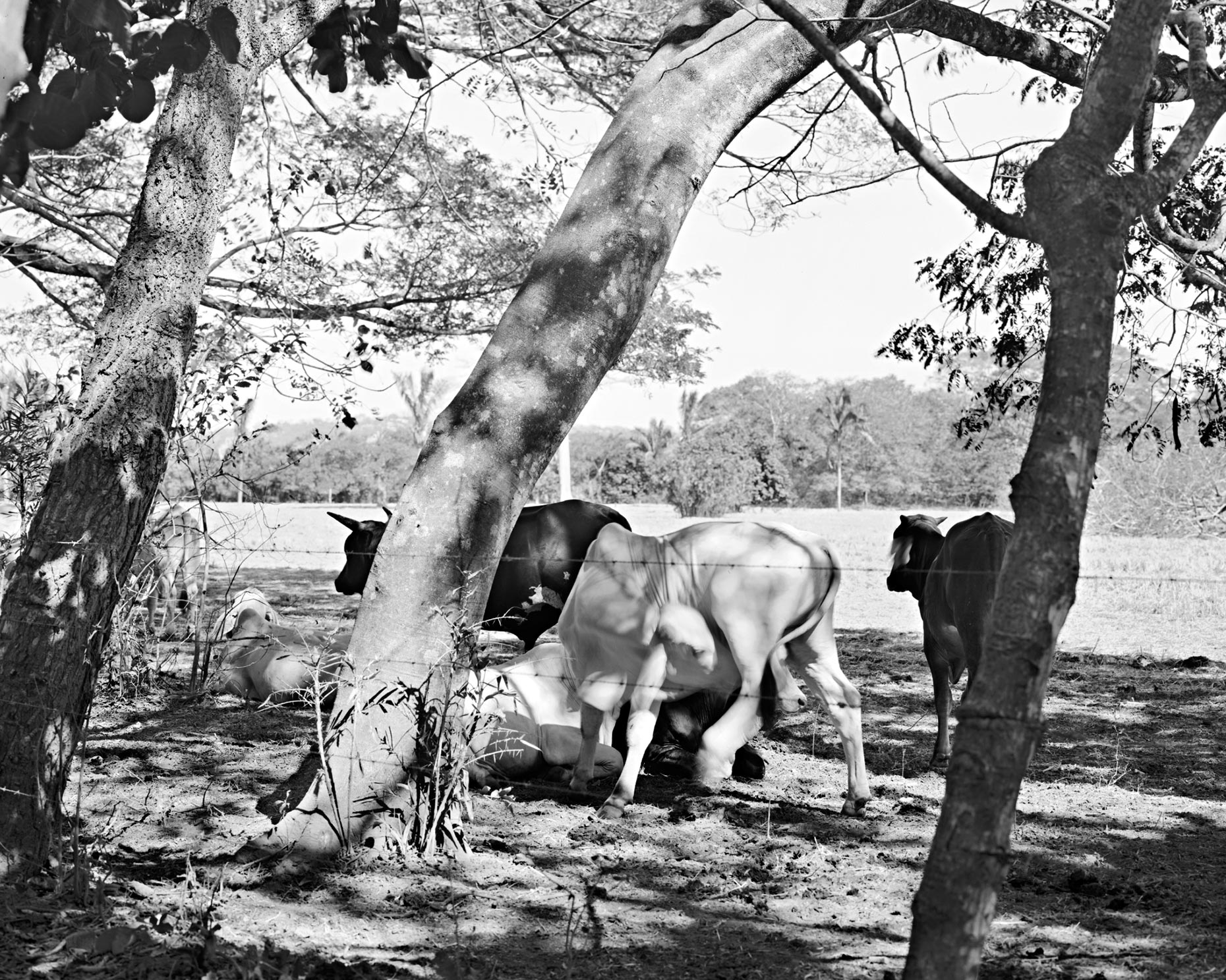 Michael Gaillard  |  Fine Art Photography  |  Cows in the Shade