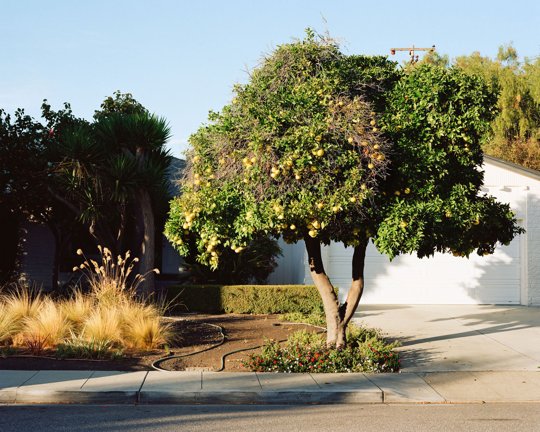 Grapefruit Tree  |  California  |  Michael Gaillard
